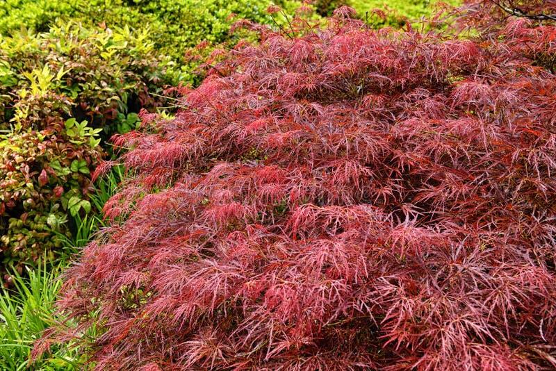 Follaje rojo del árbol de arce japonés de Laceleaf que llora fotos de archivo libres de regalías