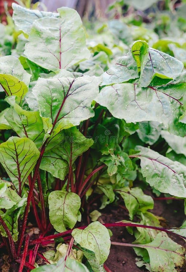 Follaje vegetal del brote de las remolachas Planta fresca de la raíz de la remolacha que crece en fondo del suelo imágenes de archivo libres de regalías
