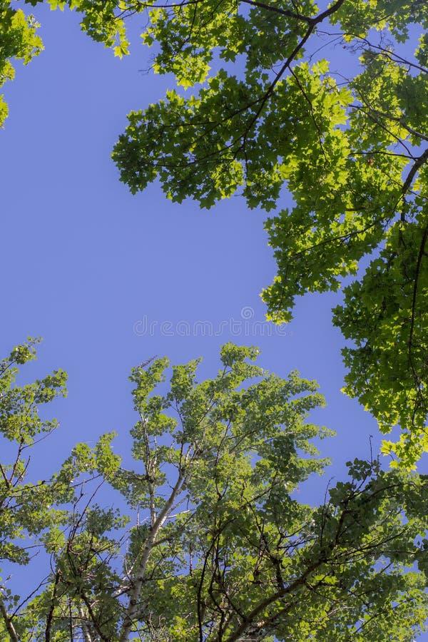 Follaje verde contra el cielo azul Árboles verdes contra el cielo y las nubes imagen de archivo