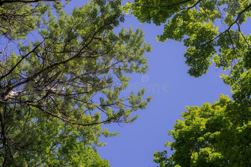 Follaje verde contra el cielo azul Árboles verdes contra el cielo y las nubes imagen de archivo libre de regalías