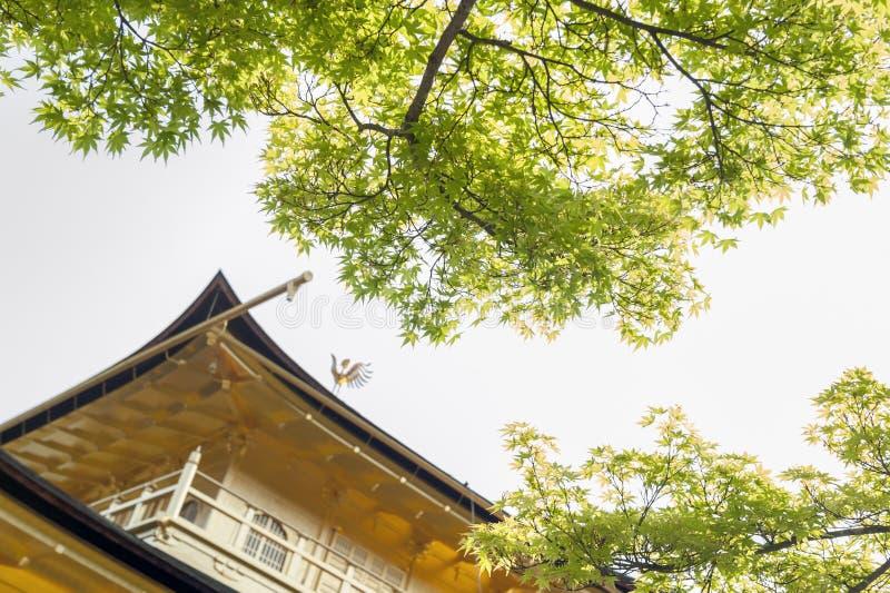 Follaje verde del árbol de arce en estación de primavera en Kinkaku-ji, el pabellón de oro, situado en el templo de Rokuon-ji en  fotos de archivo libres de regalías