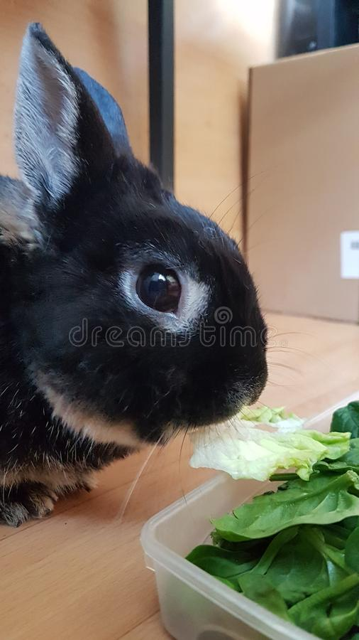 Follow the black rabbit. Rabbits, pet, pets, white, vegetables, salad, ear, ears, nose, eye, eyes, stare, gaze, green, brown, long, rodent, rodents, lagomorph stock image
