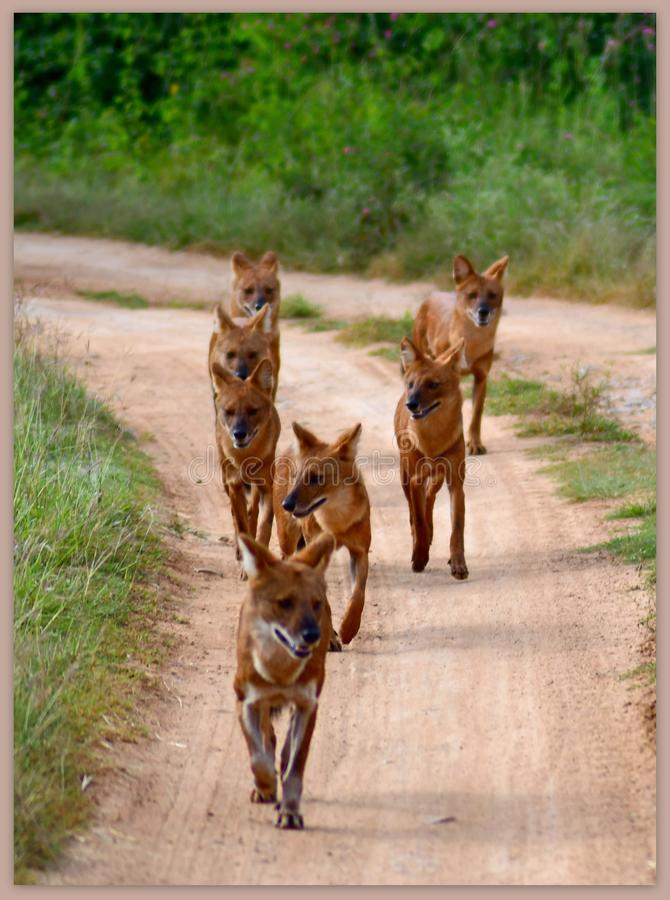 Follow the leader& x27;s tail - a pack of fox in the wild trails of Bandipur reserve forest stock photo