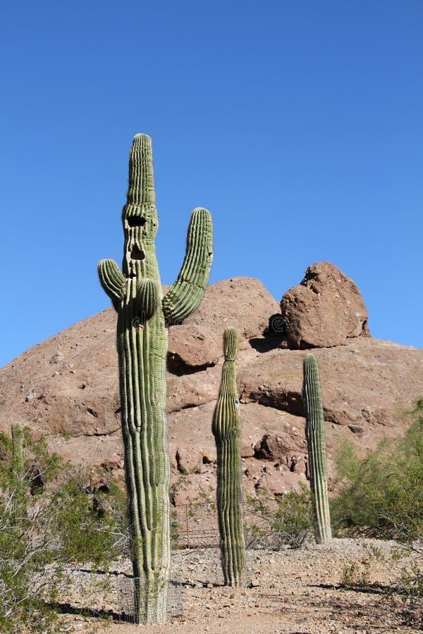 Three Saguaro Cacti/Concept: COME ALONG! stock image