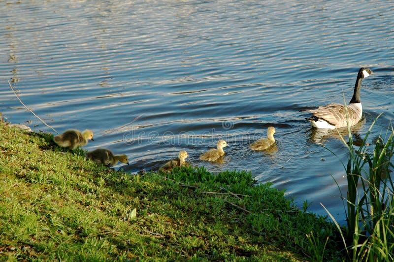 Download Follow Mum stock photo. Image of water, chicks, babies - 120306