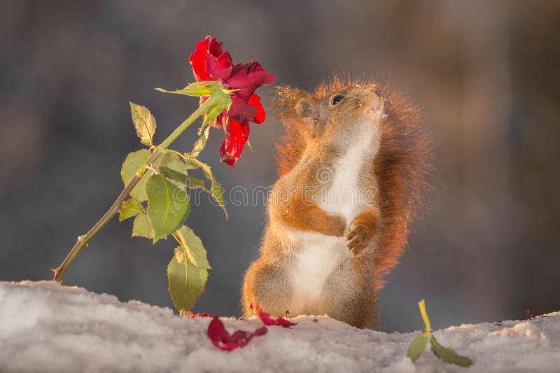 Download Follow the rose stock photo. Image of admire, love, holiday - 83707088
