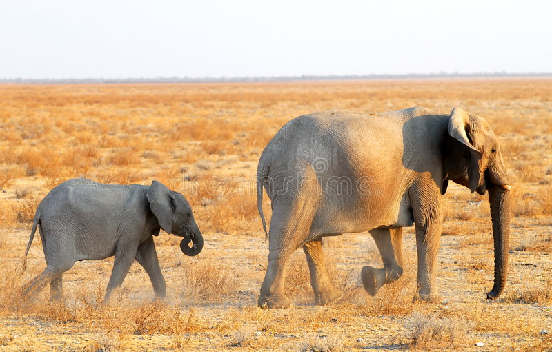 Download Following mom stock photo. Image of wildlife, learning - 7169962