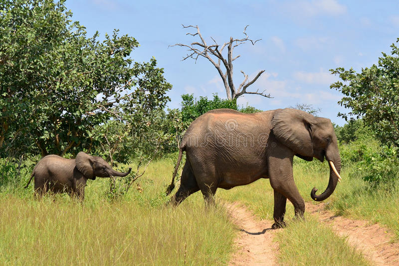 Following mother,Chobe national reserve,Botswana royalty free stock photo