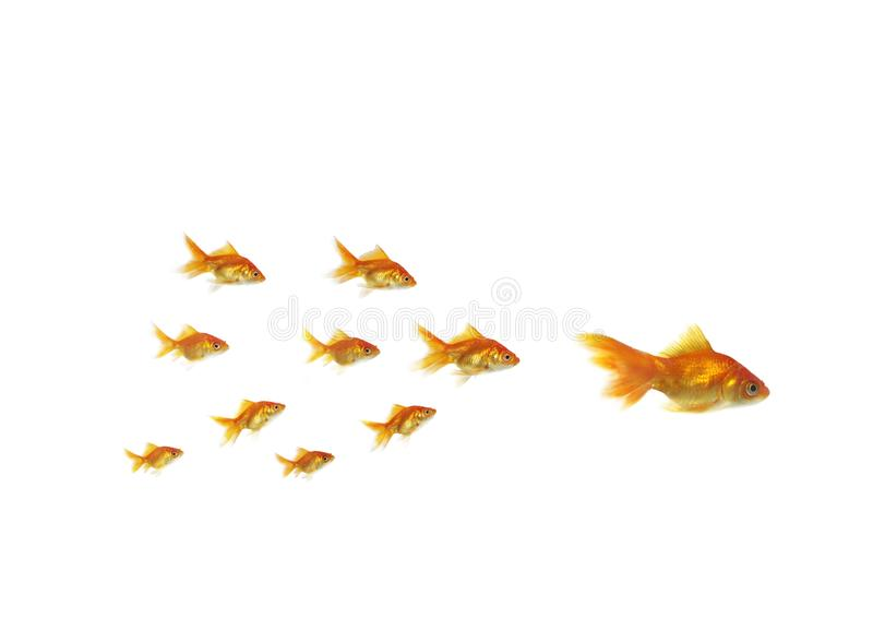 Following shoal small gold fish for large royalty free stock photo