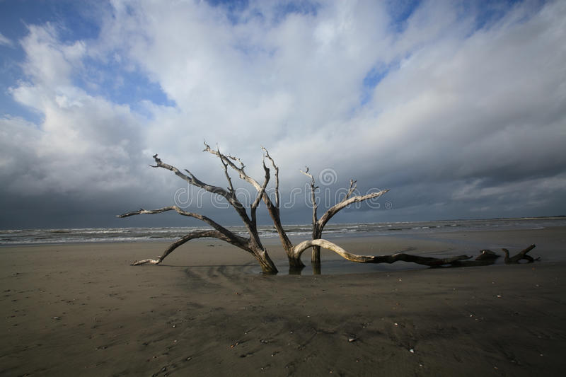 Download Folly Beach Charleston SC Dead Tree Resilience Stock Image - Image: 26677475