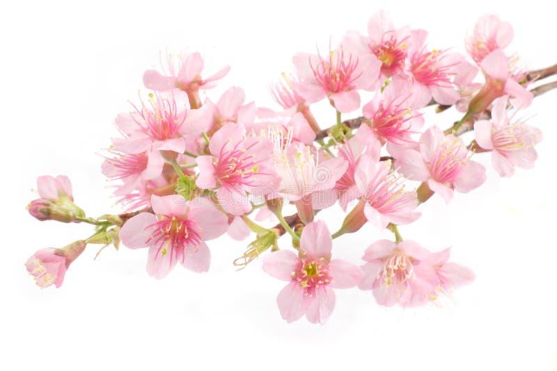 Folwer rosado de la cereza fotografía de archivo