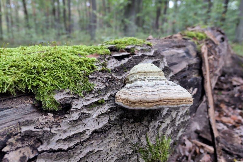 Fomentarius di fomes del fungo dell'esca sul tronco di albero morto fotografia stock