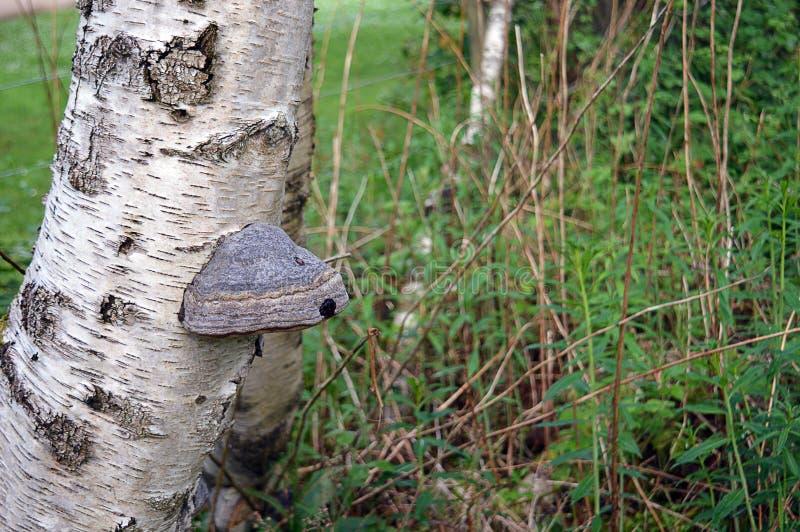Fomentarius do Fomes do fungo do casco no vidoeiro de prata Betula Pendula foto de stock royalty free