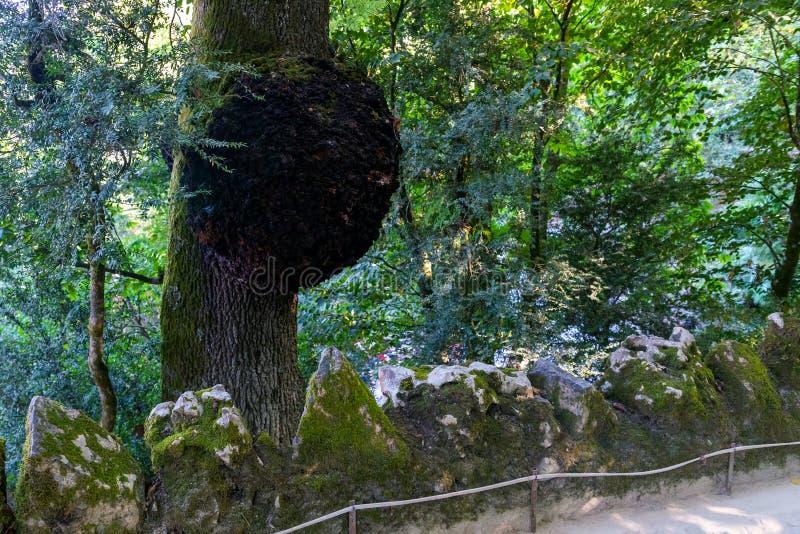 Fomentarius do Fomes ou fungo enorme da isca no tronco de árvore fotos de stock royalty free