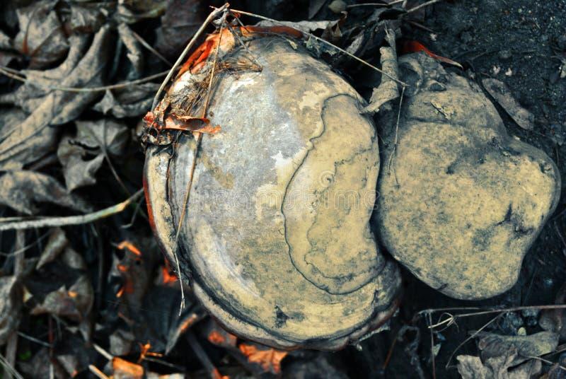 Fomes fomentarius hubki grzyb, fałszywy hubka grzyb, racicowy grzyb, hubki conk, hubki huba, lodowy mężczyzny grzyb na suchych li zdjęcia stock