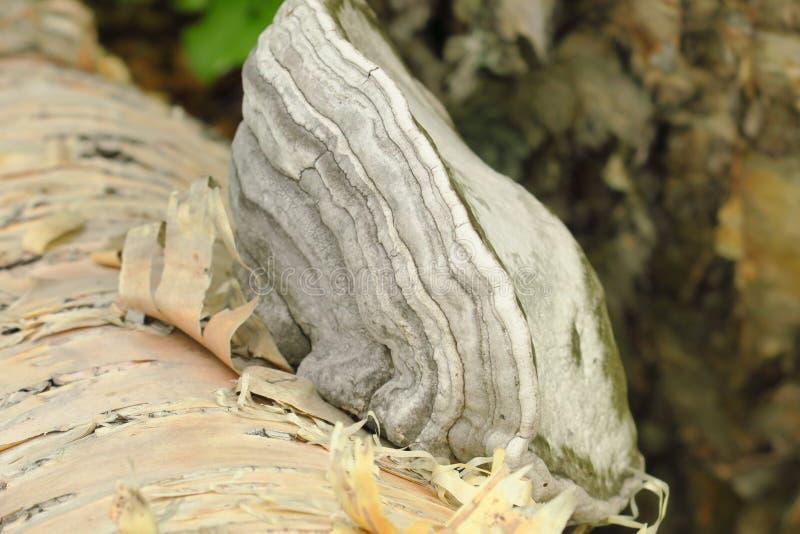 Fomitopsis betulina, föregående Piptoporus betulinus som, är bekanta som björkpolyporen, björkkonsolen eller rakknivstrigelen royaltyfri foto