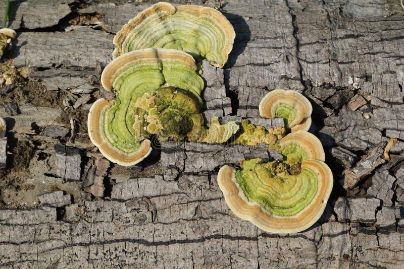 Fomitopsis pinicola royaltyfri bild