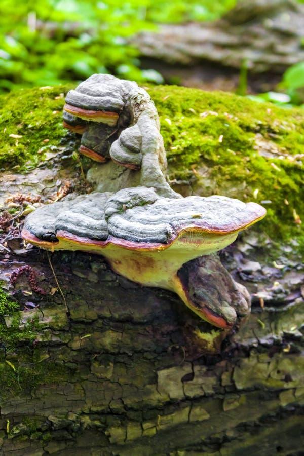 Fomitopsis pinicola lub czerwie? paska conk na spada? baga?niku zdjęcie royalty free