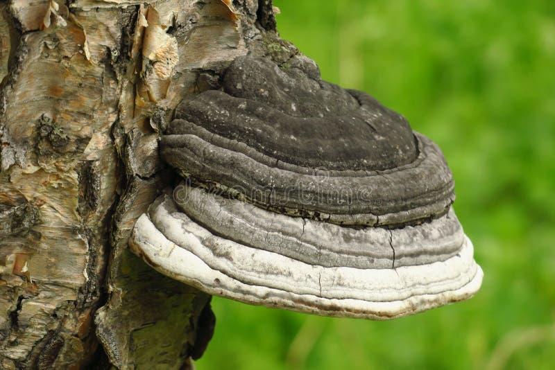 Fomitopsisbetulina, eerder Piptoporus-betulinus, die als de berk wordt bekend polypore, berksteun royalty-vrije stock afbeelding
