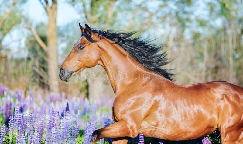 Fonctionnement Arabe de cheval gratuit sur un pré de fleur images stock