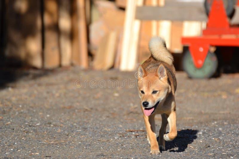 Fonctionnement d'inu de Shiba photo stock