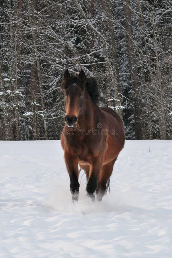 Fonctionnement de cheval dans le pré couvert par neige photo stock
