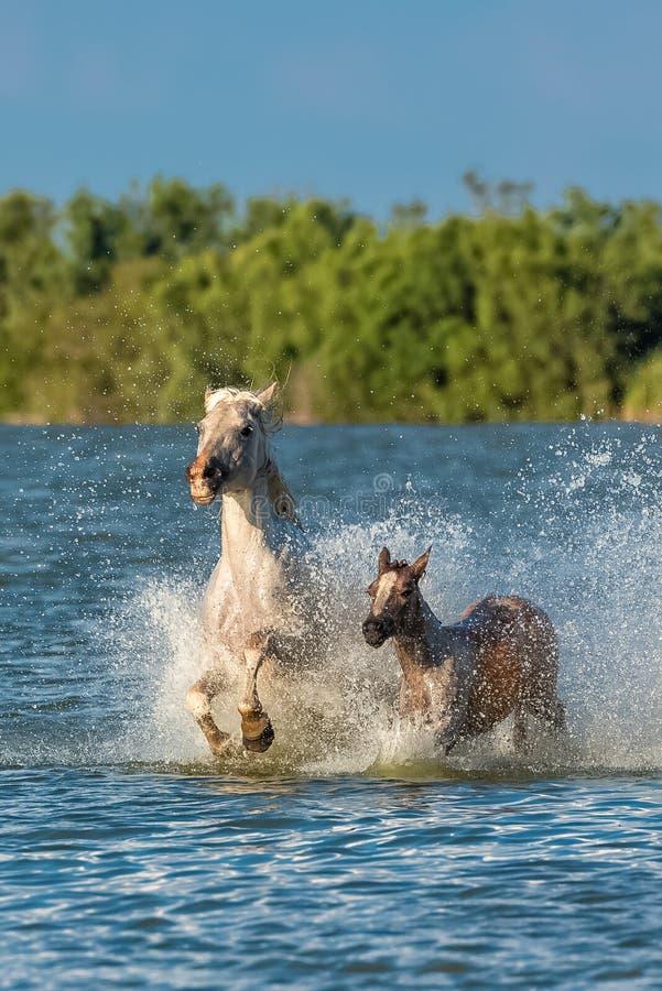 Fonctionnement de cheval et de poulain images stock