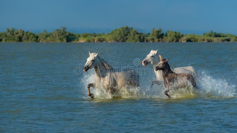 Fonctionnement de chevaux image libre de droits