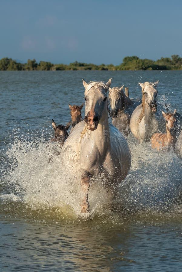 Fonctionnement de chevaux images libres de droits