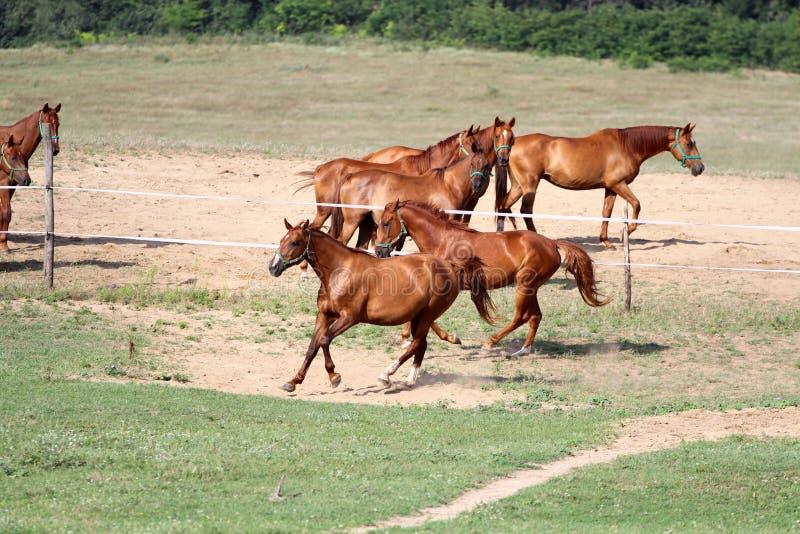Fonctionnement de chevaux gratuit sur le pâturage d'été photographie stock