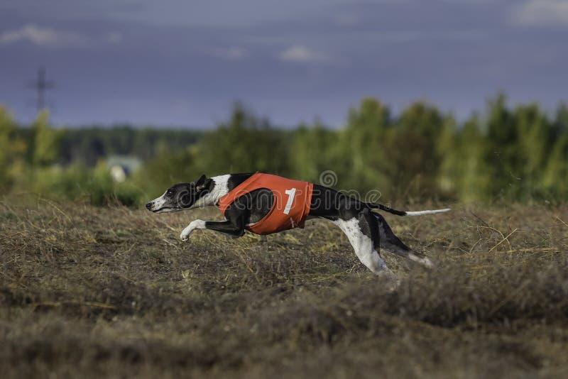 Fonctionnement de chien de whippet Courir, passion et vitesse images stock
