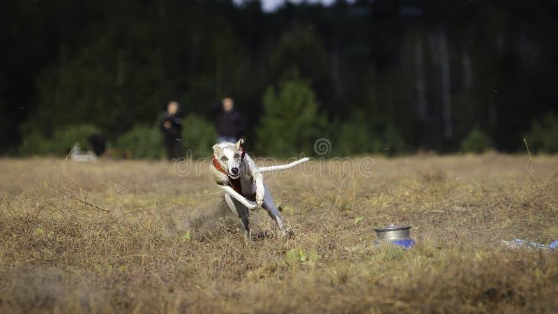Fonctionnement de chien de whippet Courir, passion et vitesse photos stock
