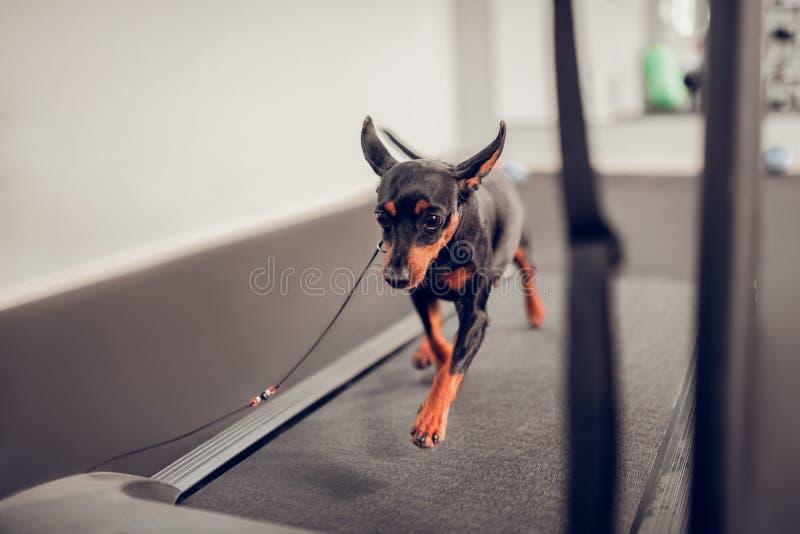 Fonctionnement de chien sur la voie de course tout en préparant à la concurrence image libre de droits