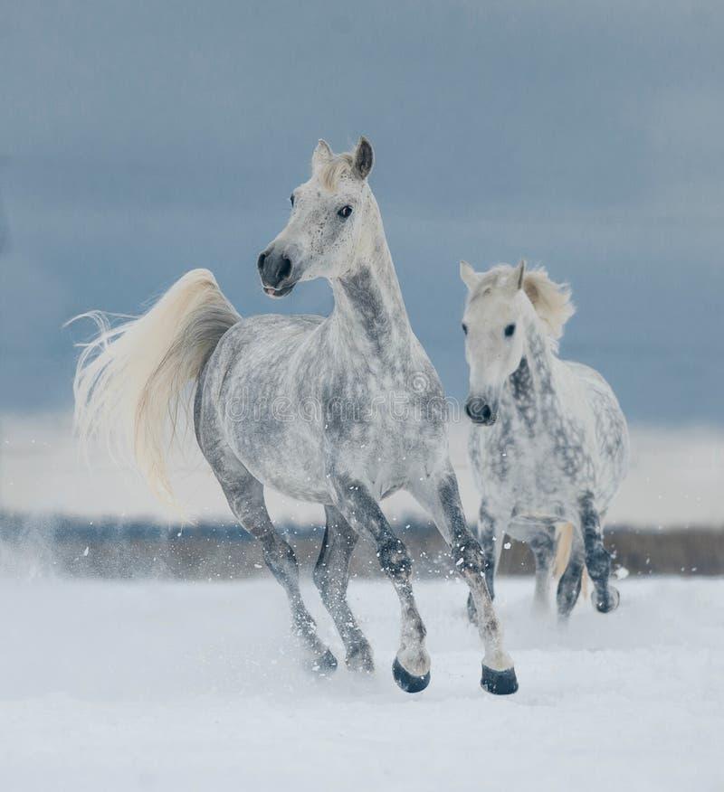 Fonctionnement de deux chevaux blancs gratuit dans la neige image libre de droits