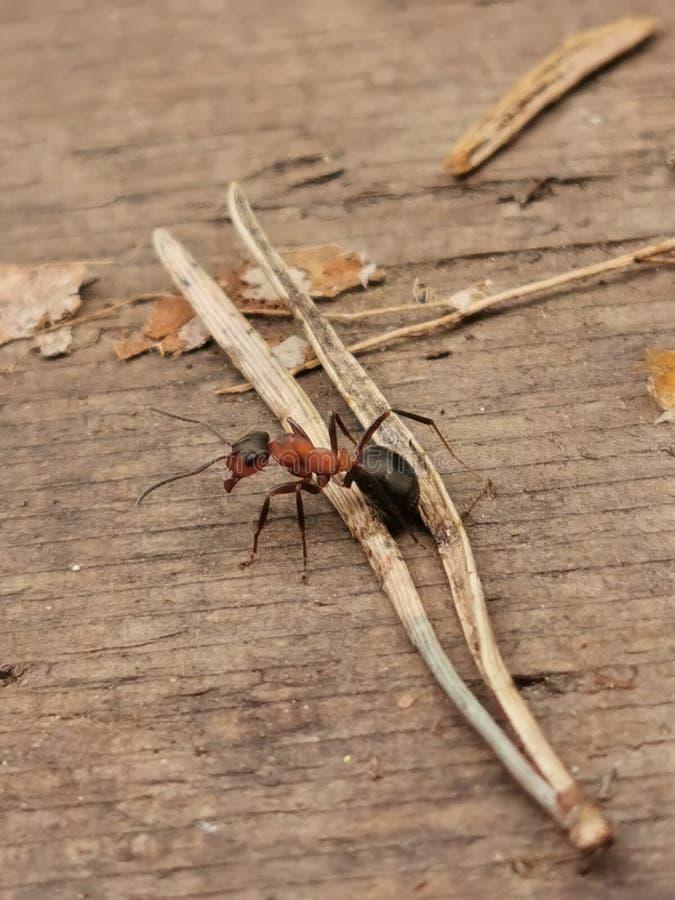 Fonctionnement de fourmi dans la forêt images stock