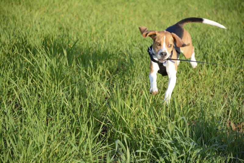 Fonctionnement de Freddo furieux sur l'herbe photographie stock libre de droits
