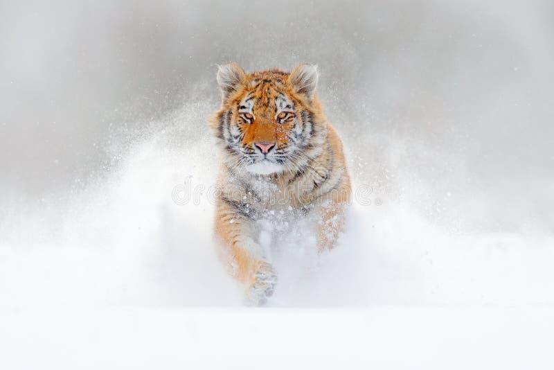 Fonctionnement de tigre dans la neige, nature sauvage d'hiver Tigre d'Amur de Sibérien, altaica du Tigre de Panthera, scène de fa images libres de droits