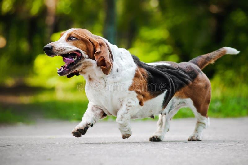 Fonctionnement drôle de chien de basset de crabot photos stock