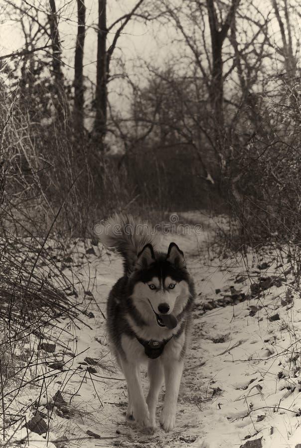 Fonctionnement enroué dans la neige B&W images libres de droits
