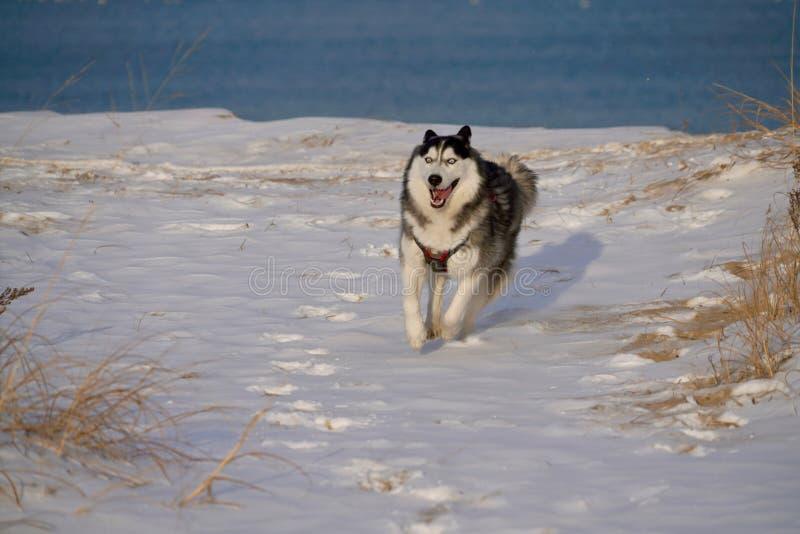 Fonctionnement enroué dans la neige par un lac photo stock