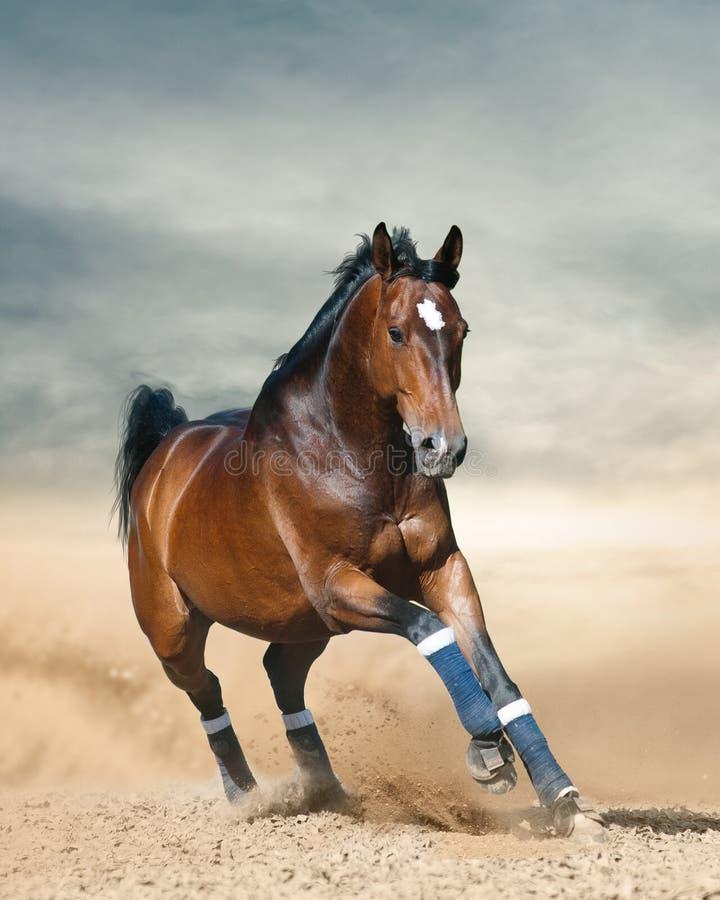 Fonctionnement folâtre de cheval de baie sauvage photographie stock
