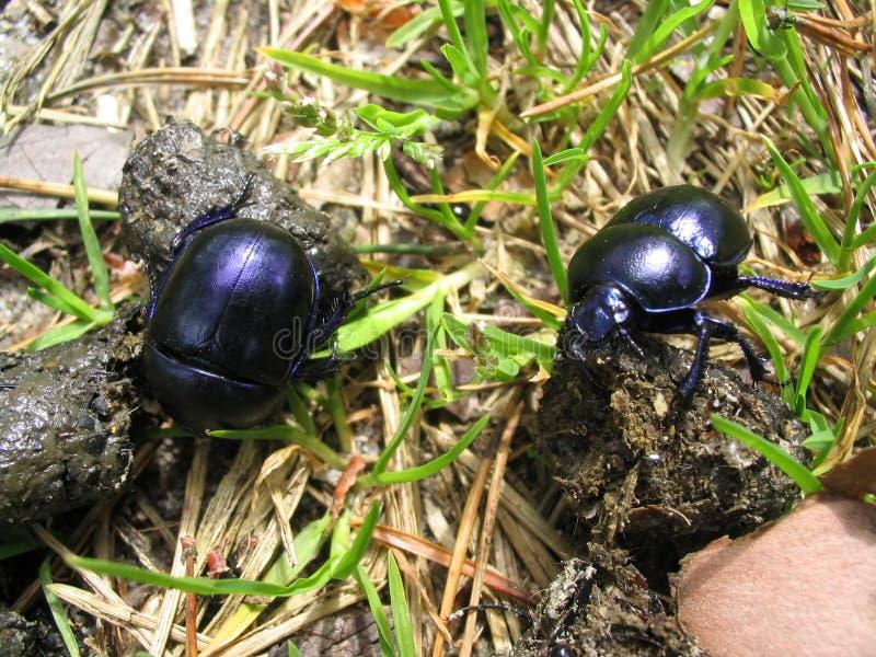 Fonctionner de coléoptères de fumier photographie stock libre de droits