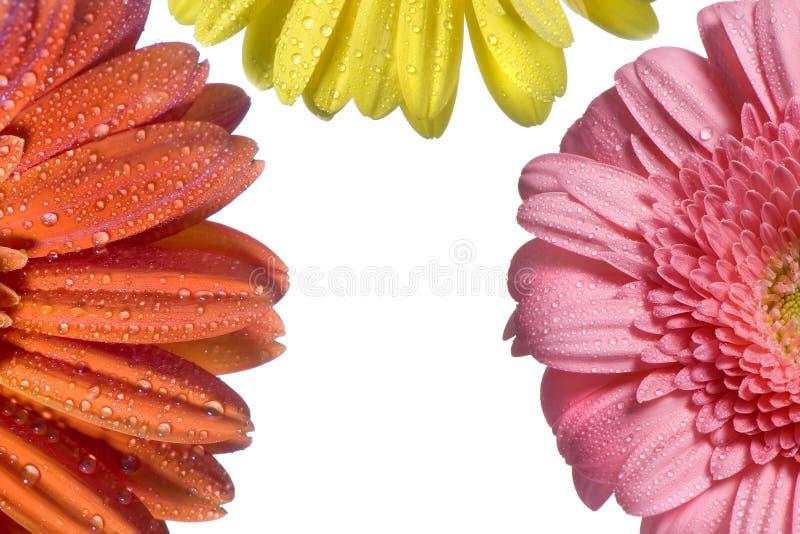 Fond 2 de trois fleurs photo libre de droits