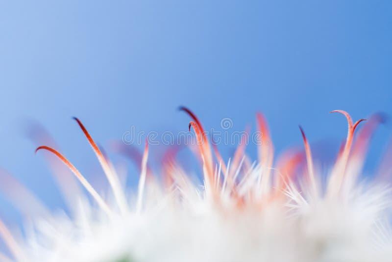 Fond abstrait avec le centre mou de macro épines blanches et de feuilles oranges de cactus sur le fond bleu photographie stock libre de droits
