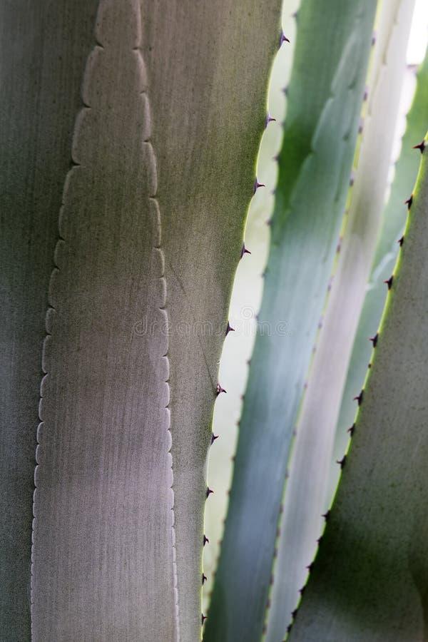 Fond abstrait de nature, détail d'un regard d'agave de gris bleu photographie stock