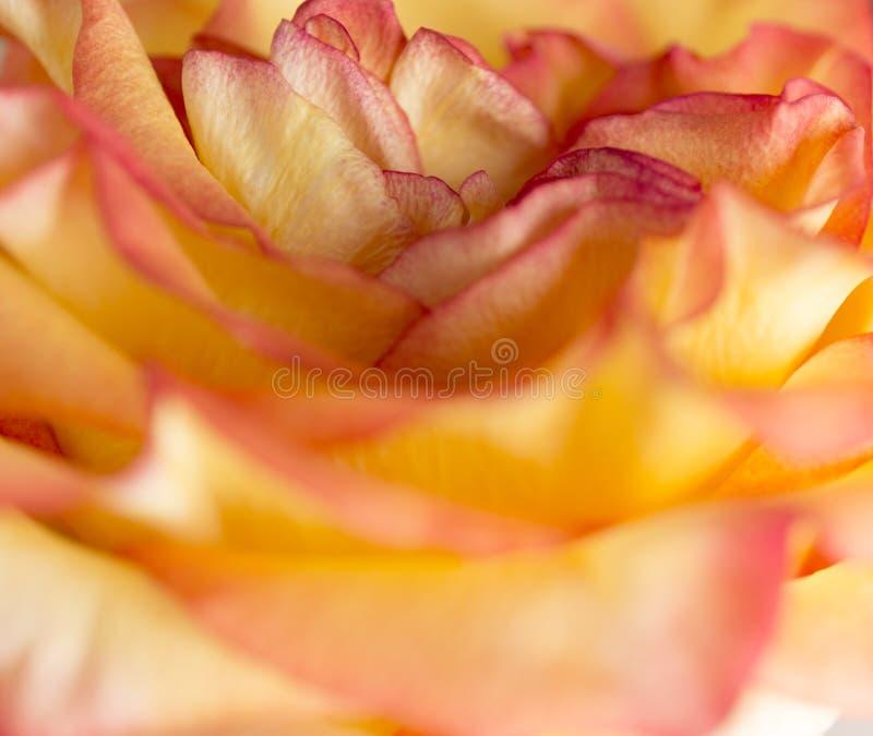 Fond abstrait jaune floral mou Macro fleur de tache floue L'orange multicolore s'est levée photo libre de droits