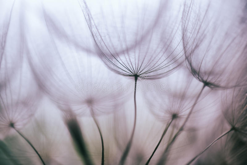 Fond abstrait pourpre de fleur de pissenlit de vintage photo stock