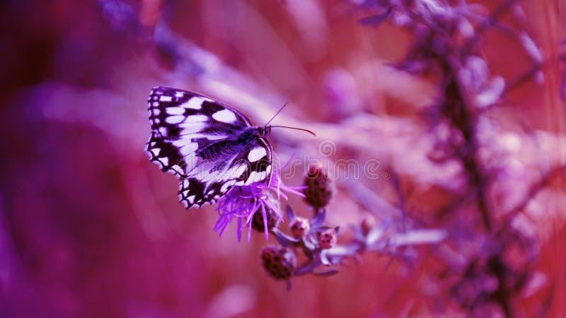 Fond abstrait pourpre, papillon images libres de droits