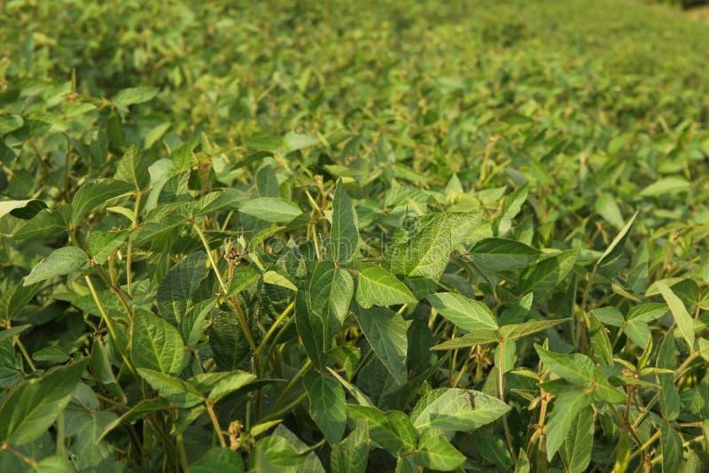 Fond agricole de plantation de soja le jour ensoleillé Soja croissant vert dans le domaine images libres de droits