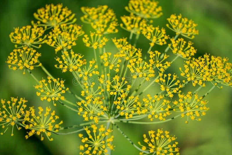 Fond avec le plan rapproché de parapluie d'aneth Centrale de jardin Aneth parfumé sur le jardin dans le jardin photos stock